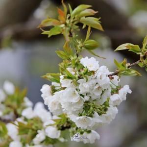 floricires
