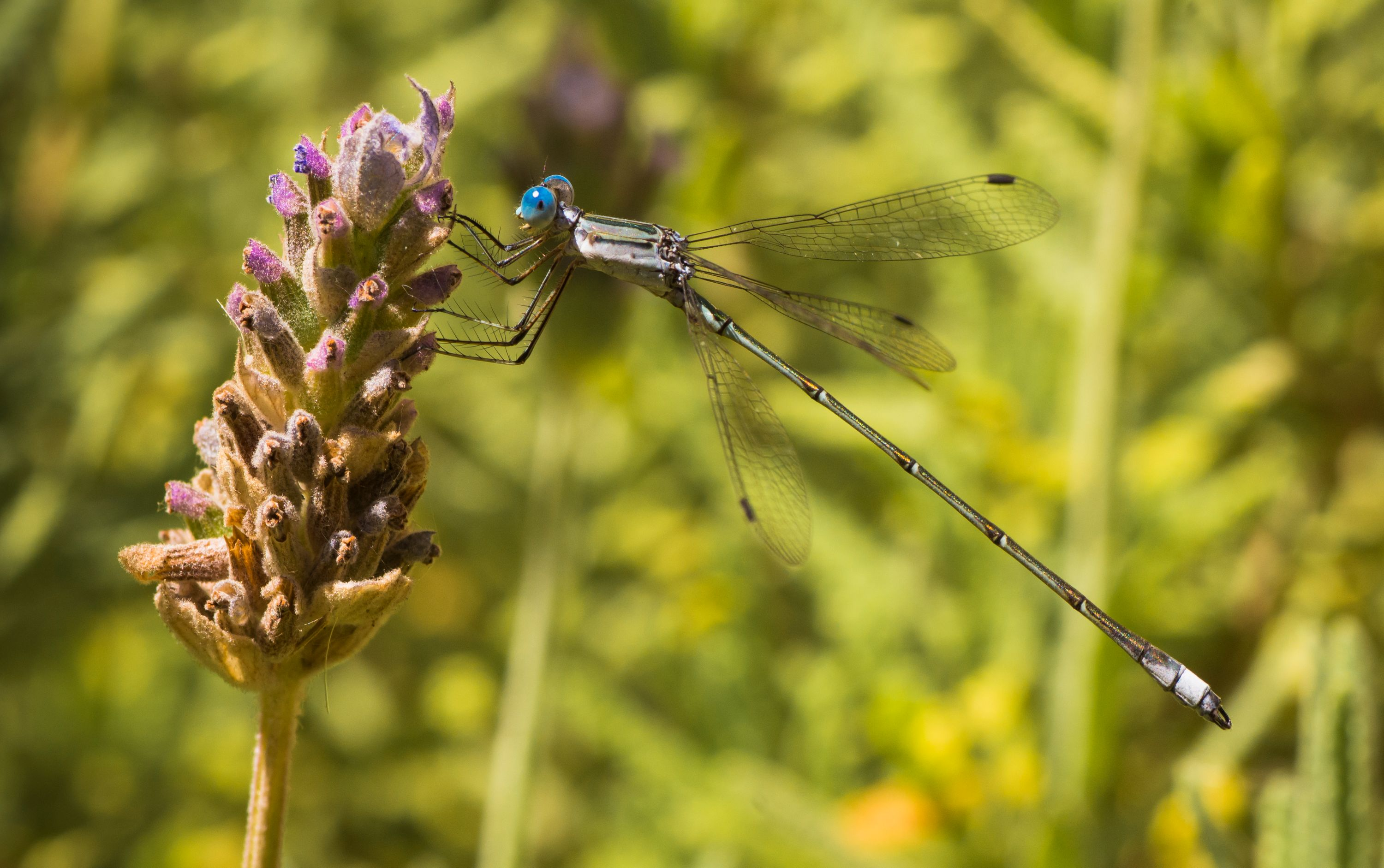 Dragonfly with blue eyes